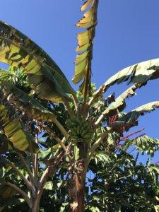 ogród botaniczny, bananowiec, park, kanary, rośliny, stolica